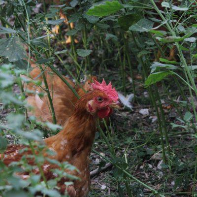 polli colorati